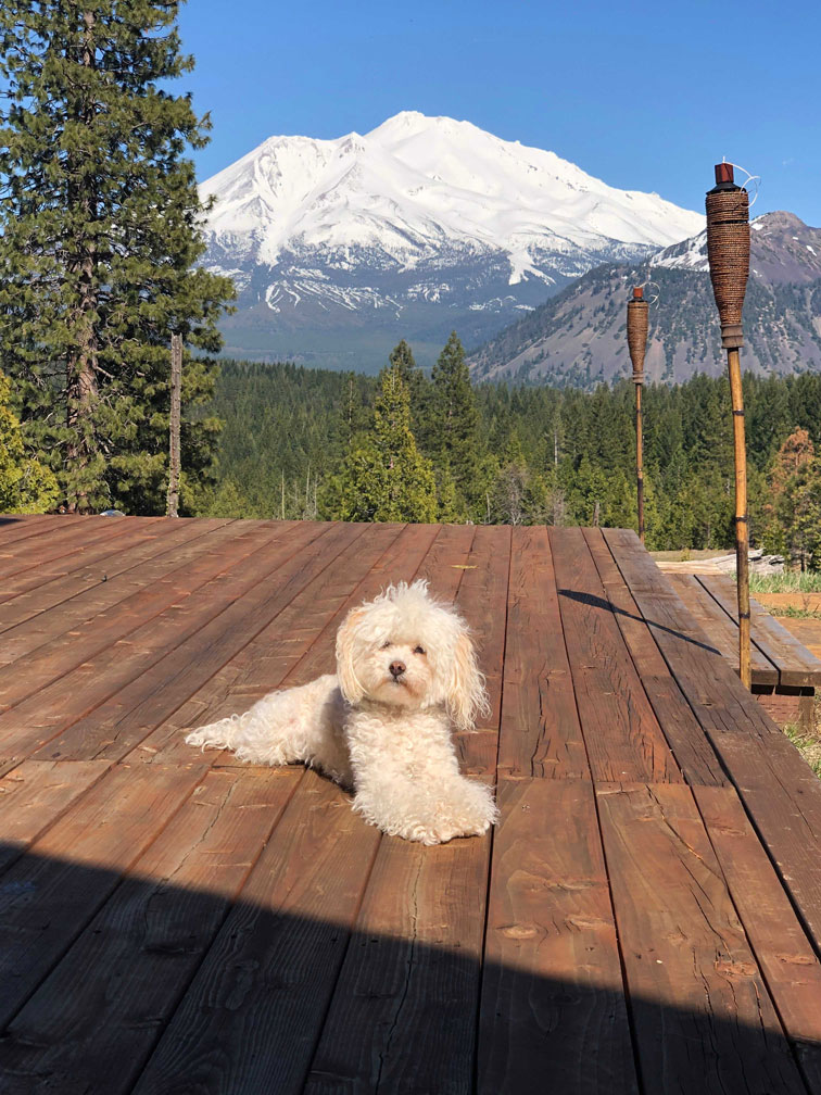 Heather's dog Coconuts relaxing in front of Mount Shasta